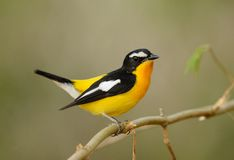 Male Yellow-rumped Flycatcher Stock Photo