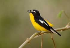 Male Yellow-rumped Flycatcher Royalty Free Stock Photo
