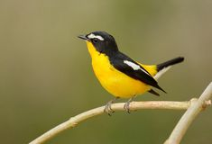 Male Yellow-rumped Flycatcher Stock Photography