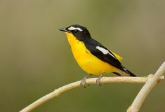 Male Yellow-rumped Flycatcher Royalty Free Stock Images