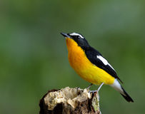 Male of Yellow-rumped flycatcher (Ficedula zanthopygia) the beau. Tiful yellow bird perching on the wooden pad looking up the sky Stock Photography