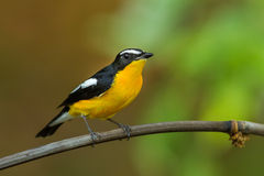 Male Yellow-rumped flycatcher. (Ficedula zanthopygia) catch on the branch in nature of Thailand Stock Image