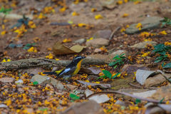 Male Yellow-rumped flycatcher (Ficedula zanthopygia) in nature Royalty Free Stock Photos