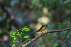 Male Yellow-rumped flycatcher (Ficedula zanthopygia) in nature. Of Thailand Stock Photography