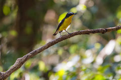 Male Yellow-rumped flycatcher (Ficedula zanthopygia) in nature Stock Photos