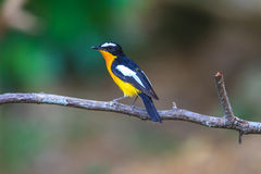 Male Yellow-rumped flycatcher (Ficedula zanthopygia) in nature. Of Thailand Stock Image