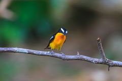 Male Yellow-rumped flycatcher (Ficedula zanthopygia) in nature. Of Thailand Royalty Free Stock Image