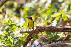 Male Yellow-rumped flycatcher (Ficedula zanthopygia) in nature. Of Thailand Royalty Free Stock Photography
