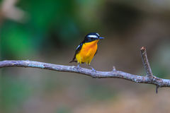 Male Yellow-rumped flycatcher (Ficedula zanthopygia) in nature. Of Thailand Stock Photo