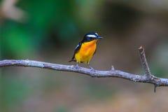 Male Yellow-rumped flycatcher (Ficedula zanthopygia) in nature Stock Photo