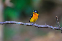 Male Yellow-rumped flycatcher (Ficedula zanthopygia) in nature. Of Thailand Royalty Free Stock Photo
