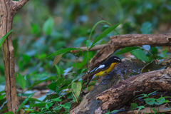 Male Yellow-rumped flycatcher playing water in summer on hot day Stock Photography