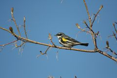 Male Yellow-rumped Warbler Royalty Free Stock Image