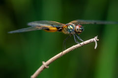 Male yellow-striped flutterer dragonfly Rhyothemis phyllis on a twig. Rhyothemis phyllis on a twig Stock Photos