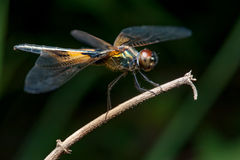 Male yellow-striped flutterer dragonfly Rhyothemis phyllis on a twig. Rhyothemis phyllis on a twig Royalty Free Stock Photography