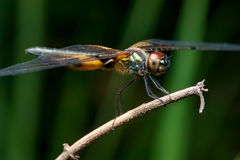 Male yellow-striped flutterer dragonfly Rhyothemis phyllis on a twig. Rhyothemis phyllis on a twig Royalty Free Stock Photos