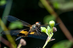 Male yellow-striped flutterer dragonfly Rhyothemis phyllis on a twig. Rhyothemis phyllis on a twig Stock Photo