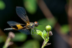 Male yellow-striped flutterer dragonfly Rhyothemis phyllis on a twig Stock Photo