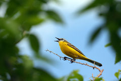Male Yellow Wagtail. (Motacilla flava Royalty Free Stock Images