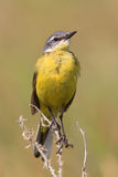 Male yellow Wagtail on a branch. Bird Wagtail sitting on a yellow dry grass on a Sunny meadow Stock Photos