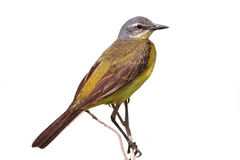 Male yellow Wagtail on a branch Stock Photography