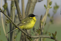 A male of Yellow Wagtail (Motacilla flava). A male of Yellow Wagtail singing on branch (Motacilla flava Stock Image