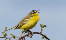 Male Yellow Wagtail (Motacilla flava) singing Stock Images