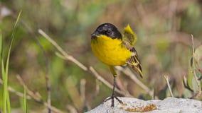 Male Yellow Wagtail Stock Photo
