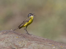Male yellow wagtail singing in rock. Male yellow wagtail singing in prairie rock Stock Photo