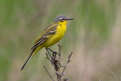 Male yellow wagtail sitting on a branch. Male yellow wagtail sitting on a dead branch Stock Photo