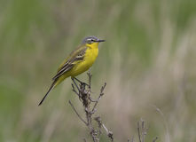 Male yellow wagtail sitting on a dead branch. Male yellow wagtail sitting on a dead branch of grass in early spring Stock Image
