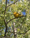 Male Yellow Warbler in Alaska. The yellow warbler is a New World warbler species. Sensu lato, they make up the most widespread species in the diverse genus Stock Image