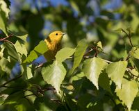 Male Yellow Warbler in Alaska. The yellow warbler is a New World warbler species. Sensu lato, they make up the most widespread species in the diverse genus Royalty Free Stock Photos