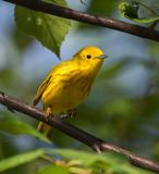 Male Yellow Warbler in Alaska. The yellow warbler is a New World warbler species. Sensu lato, they make up the most widespread species in the diverse genus Stock Photos