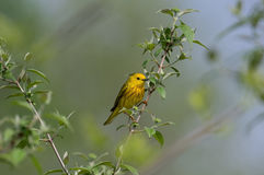 Male Yellow Warbler Stock Photography