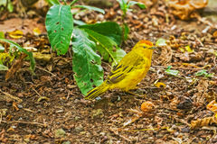 Male Yellow Warbler from Galapagos. Stock Photo