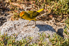 Male Yellow Warbler from Galapagos. Stock Image