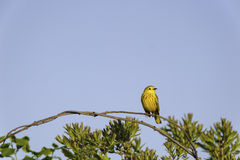 Male Yellow Warbler perched Stock Images