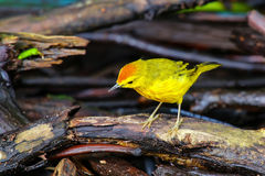 Male Yellow Warbler on Santa Cruz Island in Galapagos National P Stock Images