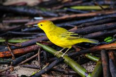 Male Yellow Warbler on Santa Cruz Island in Galapagos National P Royalty Free Stock Photos