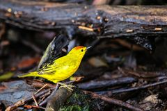 Male Yellow Warbler on Santa Cruz Island in Galapagos National P Stock Image