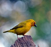 Male Yellow Weaver Bird. Yellow weaver bird male in breeding plumage, Eastern Cape, South Africa Stock Photography