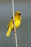 Male yellow weaver, South Africa. Male yellow weaver bird (Ploceus subaureus) sitting on a reed, South Africa Stock Images