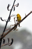 Male Yellowhammer sit on a flax plant branch Stock Images
