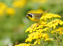 Male Yellowthroat - Geothlypis trichas. A bright yellow nature scene with a Common Yellowthroat bringing home some dinner Stock Photo