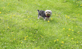 A Male Yorkie Sitting on Grass in the Spring. A cute Yorkie exploring in the field on a spring day Royalty Free Stock Photography