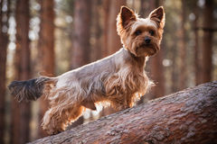 Male Yorkshire Terrier dog in forest Stock Photo
