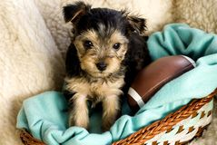 Male Yorkshire Terrier Puppy with football. Adorable male Yorkshire Terrier Puppy in basket with green blanket and toy football, beige background Royalty Free Stock Images