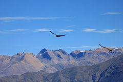 Male young condors flying over mountains. A Male young andean condor flying over the mountains of Colca canyon - one of the deepest canyons in the world, near Stock Photos