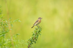 Male young Europian stonechat. Or Saxicola rubicola seats on twig Royalty Free Stock Photos